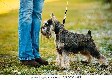 Small Miniature Schnauzer Dog Zwergschnauzer Outdoor