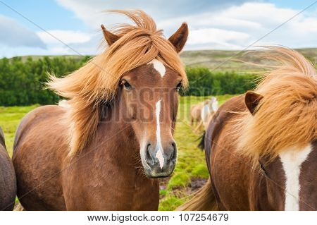 Beautiful Brown Icelandic Horses In Nature. Southern Iceland.