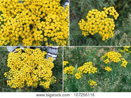 Perennial Herb tansy (tanacetum)