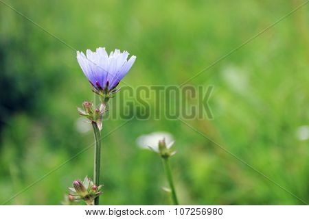 Single Blue Chicory Flower On Summer Field. Close Up View, Shallow Dof
