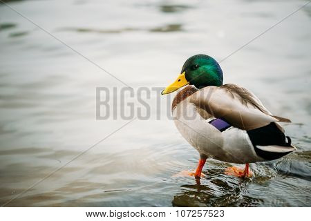 Wild duck swimming in river.