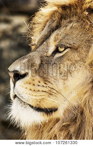 Barbary Lion Portrait (panthera Leo Leo), Endangered Animal Species