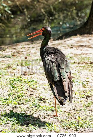 Black Stork (ciconia Nigra), Animal Theme