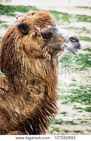 Bactrian Camel Portrait, Humorous Animal Scene