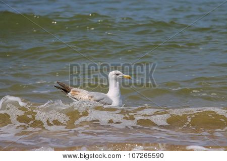 Seagull Swimming In The North Sea In Zandvoort, The Netherlands