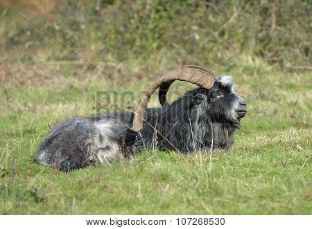 Wild Feral Goat