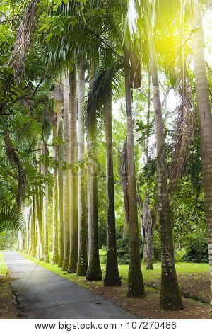 The avenue of the Cuban palm trees (royal palm tree) on Mauritius (Roystonea regia)