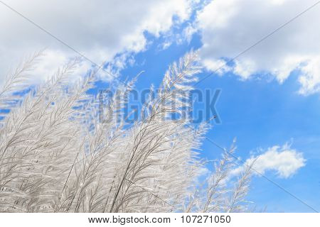 Snow-white Feather-grass Growing In Steppe Against Blue Sky