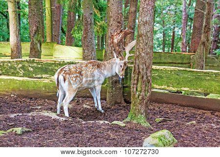 Red Deer At Tree
