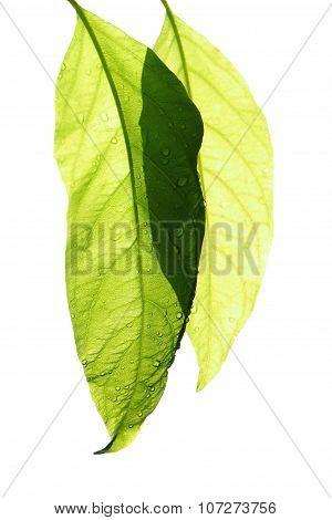 Fresh Leaf Isolate