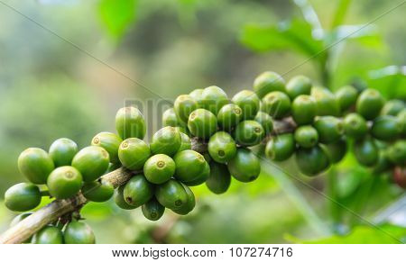 Coffee beans fresh on the branch in farm