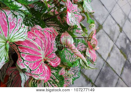 Fancy leaved caladium with pink and green colors