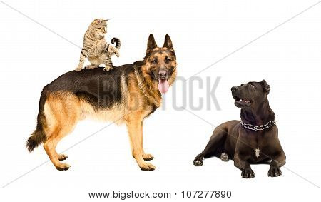Dogs and a funny cat together