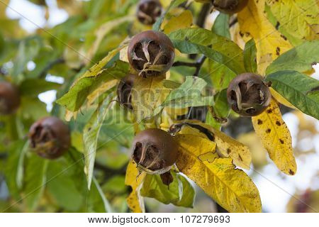 Fresh medlars on a tree in autumn close up