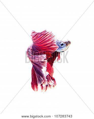 siamese fighting fish betta on white background.(Thailand)