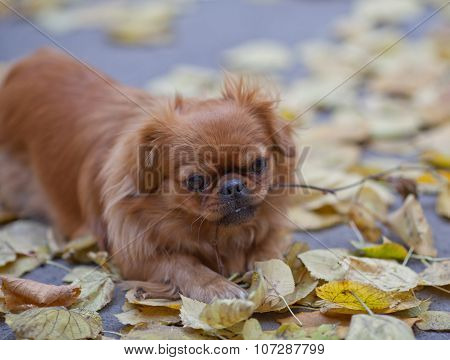 Pekingese Plays With A Tree Branch