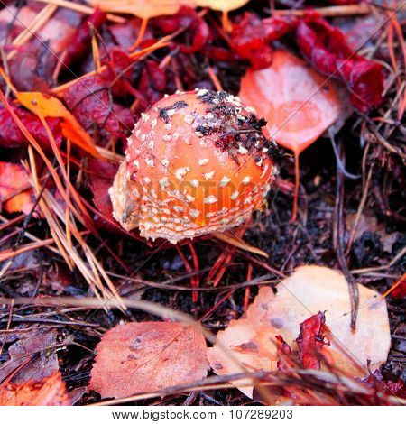 Amanita Muscaria, A Poisonous Mushroom In Autumn Forest