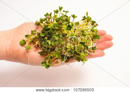 The Healthy Diet. Radish Sprouts Isolated On White