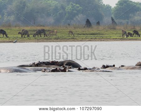 hippos swim in the river in Malawi