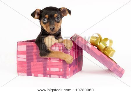 Pincher Puppy In A Christmas Gift Box.