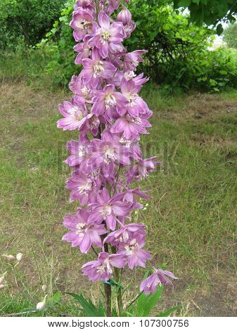 Pink delphinium flower