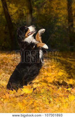 Bernese dog in autumn
