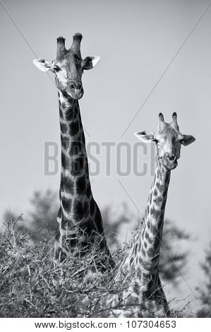 Portrait Of Two Giraffe Looking Over Small Tree Artistic Conversion