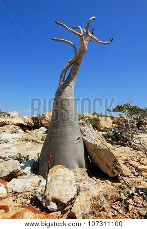 Endemic Of Socotra Island