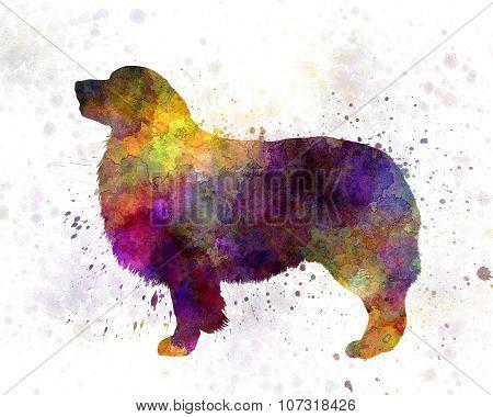Australian Shepherd  In Watercolor