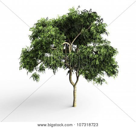Crurry Leaf Tree Isolated On White