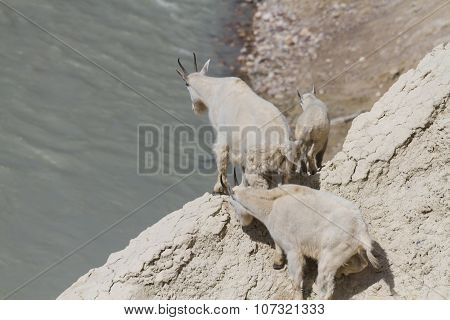 Mountain Goats On Top Of A Cliff