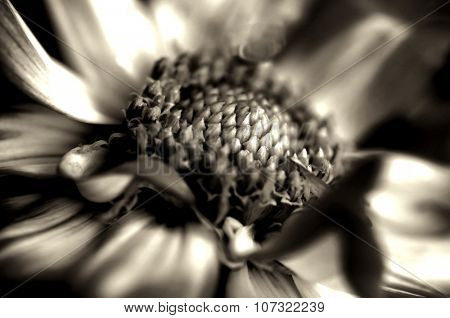 Beautiful Black and white sepia toned Dahlia