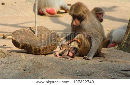 The Image Of The Monkey Family With The Baby.