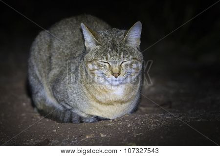 African Wild Cat Lying On The Ground In Spotlight
