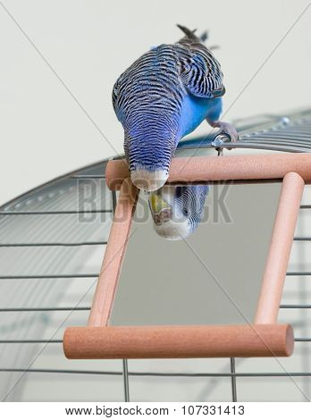 Budgie And A Mirror