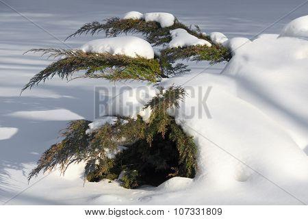White Cedar Branches In Snow