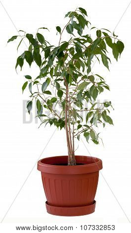 Ficus Tree In Flowerpot