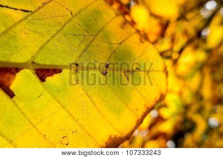 Detail Of Autumn Chestnut