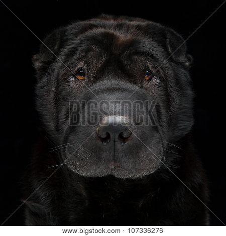 Black shar pei