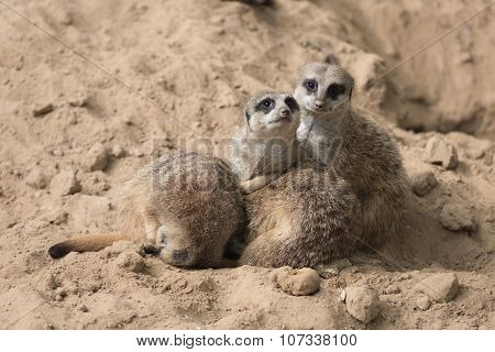 Meerkats In Antwerp Zoo