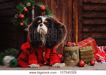 cavalier king charles spaniel dog in red coat with christmas decorations at cozy country house