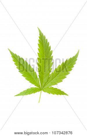Cannabis Leaf Isolated.