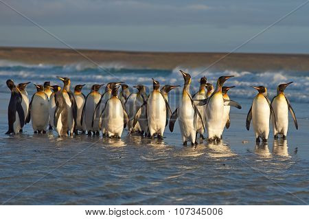King Penguins in the Surf