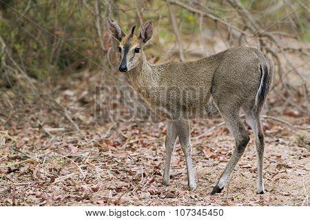 Common Duiker In Kruger National Park
