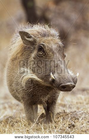 Common Warthog In Kruger National Park