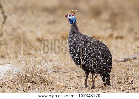 Helmeted Guineafowl In Kruger National Park