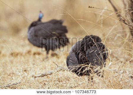 Helmeted Guineafowl In Kruger National Park