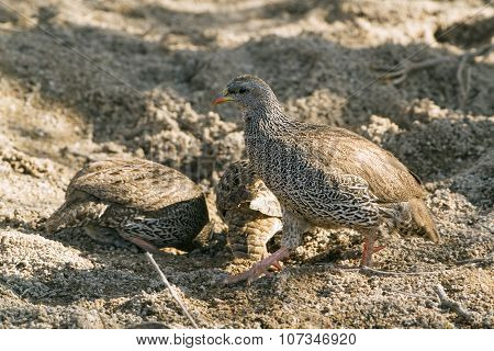 Natal Francolin In Kruger National Park
