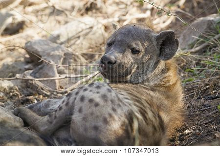 Spotted Hyaena In Kruger National Park