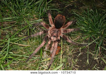 Tarantula (Phormictopus cochleasvorax)